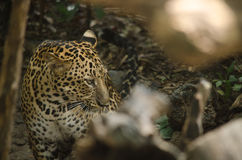 Leopard live in the cage Royalty Free Stock Photography