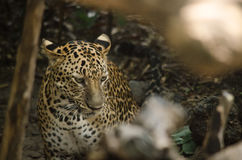 Leopard live in the cage Stock Photography