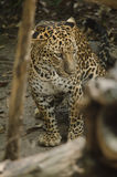 Leopard live in the cage Royalty Free Stock Image