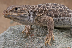 Leopard lizard Royalty Free Stock Photography