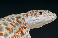 Leopard lizard / Gambelia wislizenii Stock Images