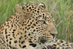 Leopard look. The leopard was in the Reserve. He was very relax in the late afternoon sun Royalty Free Stock Photo
