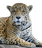 Leopard looking stock images
