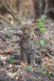 Leopard looking at camera. Canon 6D 450mm ISO 800 1/400 f5.6 Leopard sighted in forests of western ghats of Karnataka, india royalty free stock images