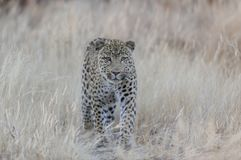 Leopard is looking for catch, namibia. Leopard is looking for catch, grassland,  namibia, panthera pardus Stock Images