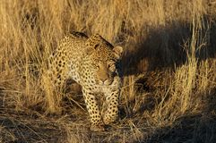 Leopard is looking for catch, namibia. Leopard is looking for catch, grassland, namibia, panthera pardus Stock Photography