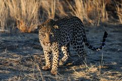 Leopard is looking for catch, namibia Royalty Free Stock Photos