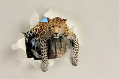 Leopard looking through a hole torn the paper. Leopard looking through a hole torn sheet of the paper royalty free stock images