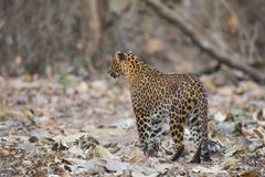 Leopard looking for prey. Canon 6D 450mm ISO 800 1/400 f5.6 Leopard sighted in forests of western ghats of Karnataka, india royalty free stock image