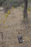 Leopard looking for prey in mala mala Stock Images