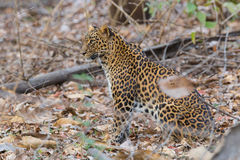 Leopard looking for preysitting in forest. Canon 6D 450mm ISO 800 1/400 f5.6 Leopard sighted in forests of western ghats of Karnataka, india royalty free stock photography