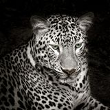 Leopard. Is looking at something royalty free stock photos
