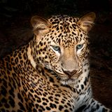 Leopard. Is looking at something royalty free stock photo