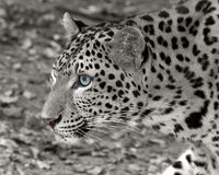 Leopard. Is looking at something stock image