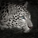 Leopard. Is looking at something royalty free stock photography