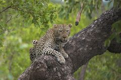 Leopard lookout Royalty Free Stock Images