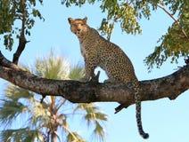 Leopard on the lookout. An Okavango Delta leopard keeps a watch on the bush below Stock Photo