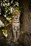 Leopard on the lookout. Big leopard on the lookout for baboons. Standing on a tree with killed Impala Royalty Free Stock Photos