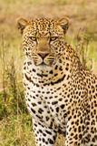 Leopard looks into the camera lens Stock Images