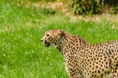 Leopard looks Royalty Free Stock Photos