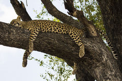 Leopard lounges in a tree. Royalty Free Stock Photography