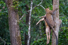 Leopard lurking in forest. Leopard a versatile feline is seen lifting a prey on to a tree in this extremely rare photograph Royalty Free Stock Photography