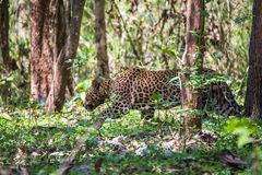 Leopard lurking in forest. Leopard a versatile feline is seen in forest on a sunny day Royalty Free Stock Image