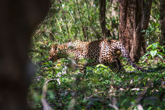 Leopard lurking. Leopard a versatile feline is seen in forest on a sunny day Stock Photos