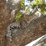 Leopard lying Royalty Free Stock Images