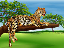 A leopard lying above the branch of a tree Stock Images