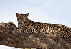 Leopard lying on brach in big tree shade Stock Images