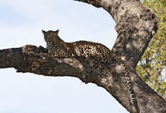 Leopard lying on branch in big tree shade. Resting royalty free stock photos