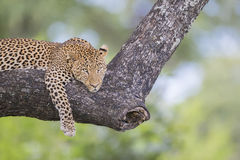 Leopard lying on a branch Stock Images