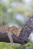 Leopard lying on a branch Royalty Free Stock Photography