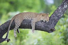 Leopard lying on a branch Stock Image