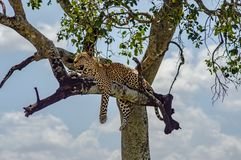 Leopard lying on a branch of a tree in the Masai Mara stock photo
