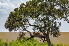 Leopard lying on a branch of a tree in the Masai Mara stock photos
