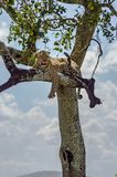 Leopard lying on a branch of a tree in the Masai Mara stock images