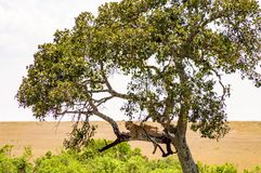 Leopard lying on a branch with two paws hanging Royalty Free Stock Images