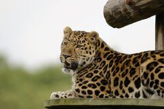Leopard Lying on Brown Wooden Surface Stock Photo