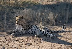 Leopard lying down in the dirt royalty free stock image