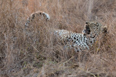 Leopard  lying down in long brown grass relaxing before a hunt Stock Photo