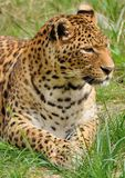 Leopard Lying In The Grass Stock Photo