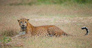 Leopard lying on the grass. Sri Lanka. Stock Photography