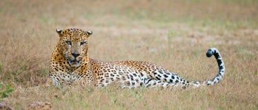 Leopard lying on the grass. Sri Lanka. Stock Photos