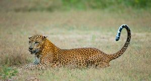 Leopard lying on the grass. Sri Lanka. Royalty Free Stock Photos