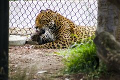 Leopard Lying Beside Gray Metal Chain Link Fence Stock Images
