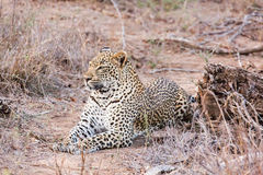 Leopard lying Stock Images
