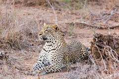 Leopard lying Stock Photography