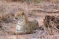 Leopard lying Royalty Free Stock Photo
